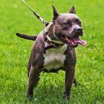 pitbull köpek cinsi, pitbull nasıl bir cinstir, pitbull köpekler nasıl